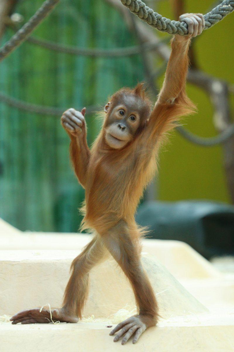 Sumatra Orang-Utan Ronda im Tierpark Hellabrunn