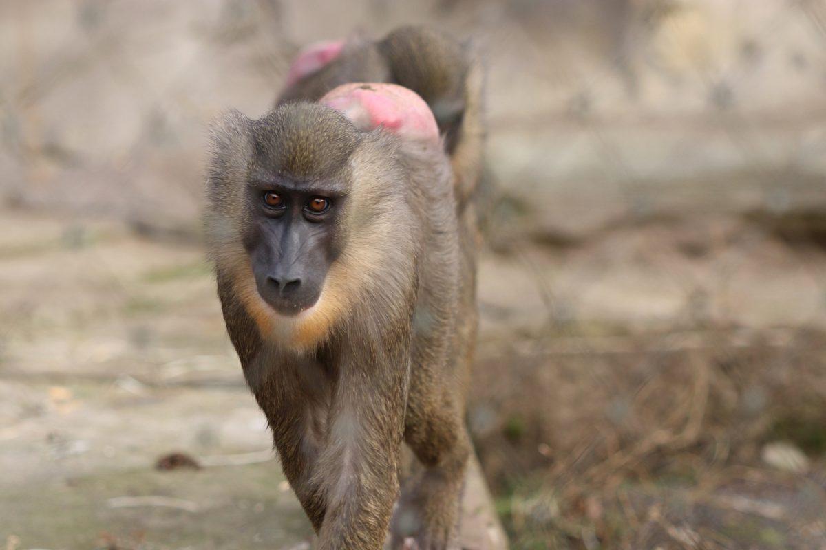 Drill im Tierpark Hellabrunn Negativbeispiel Gitter