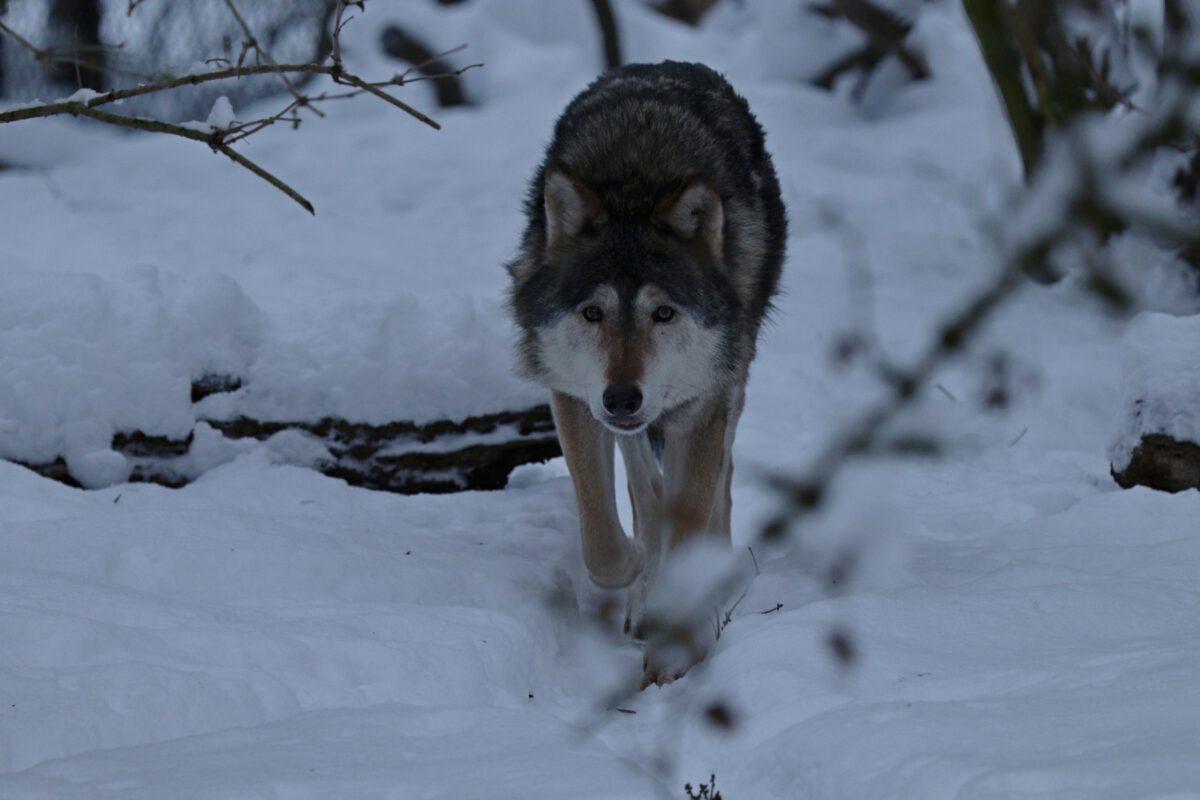 Negativbeispiel Wolf im Schnee im Tierpark Hellabrunn