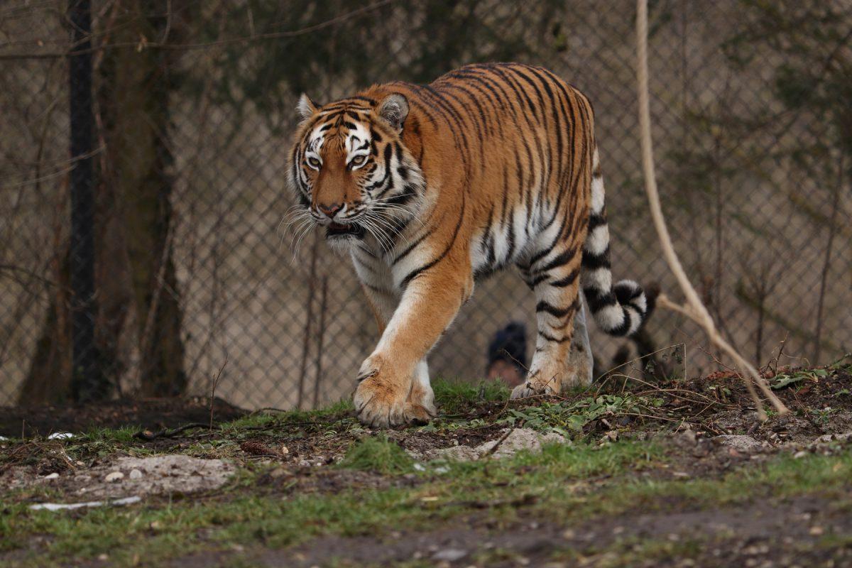Sibirische Tigerin Ahimsa im Tierpark Hellabrunn Negativbeispiel Hintergrund