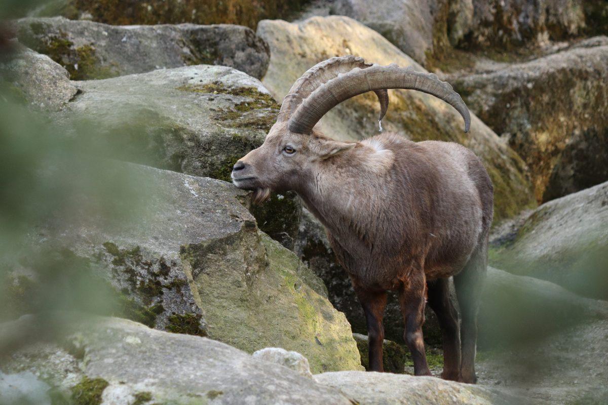 Alpensteinbock im Tierpark Hellabrunn Beispielbild Vordergrund