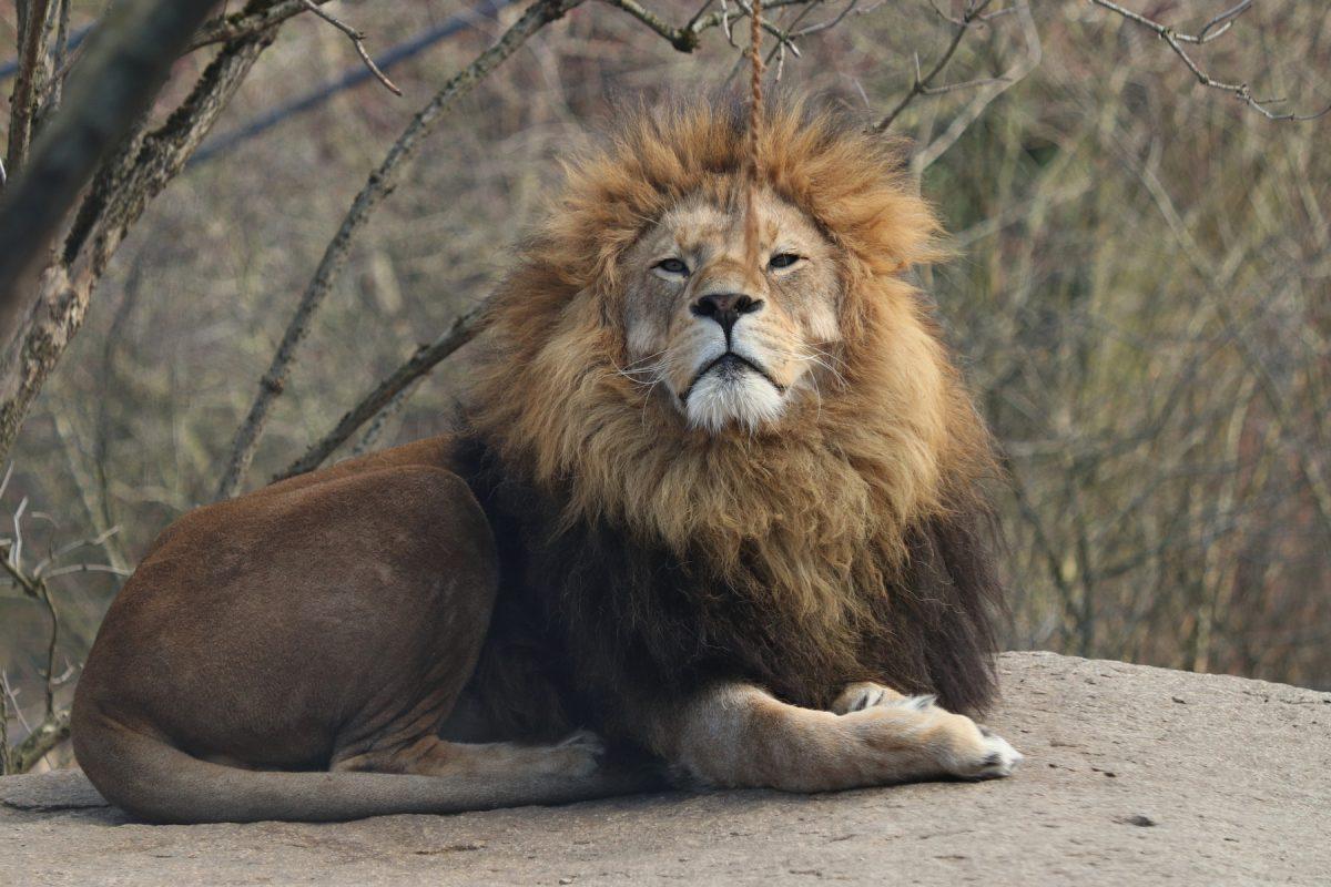 Afrikanischer Löwe Max im Tierpark Hellabrunn Negativbeispiel Glasscheibe