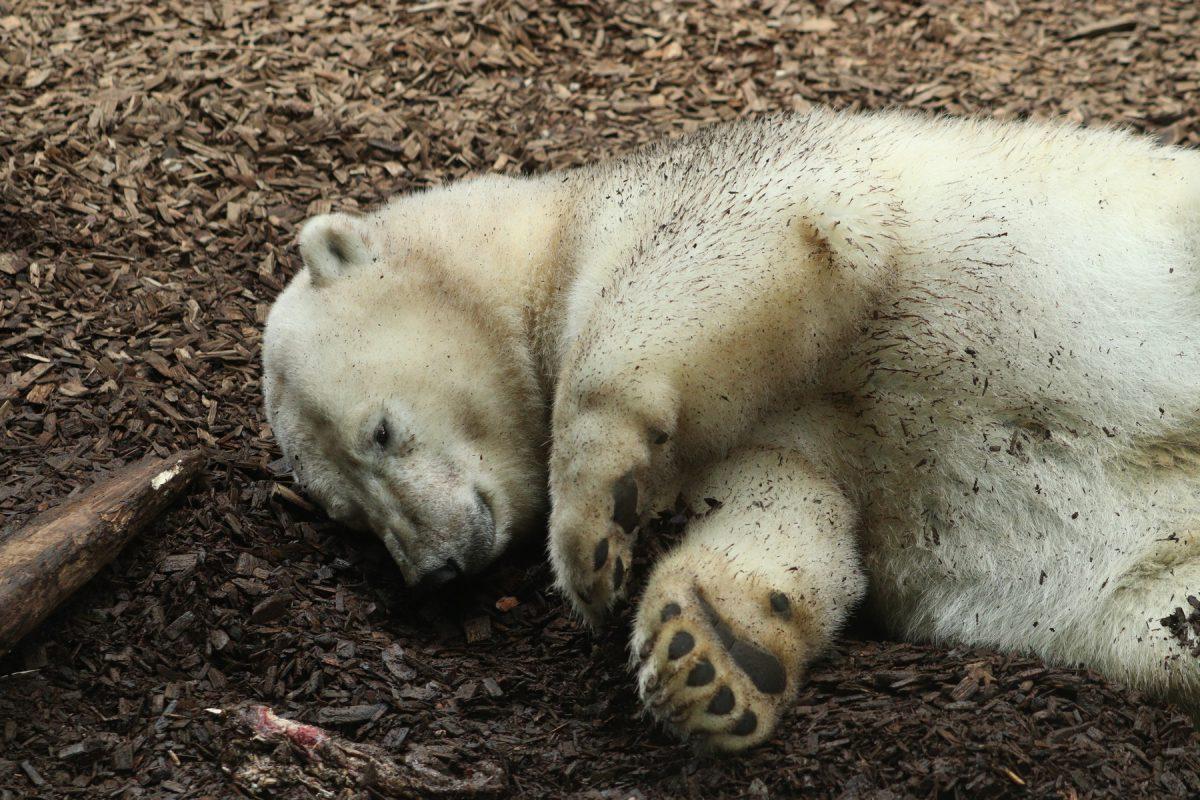 Eisbärin Quintana im Tierpark Hellabrunn Negativbeispiel Perspektive