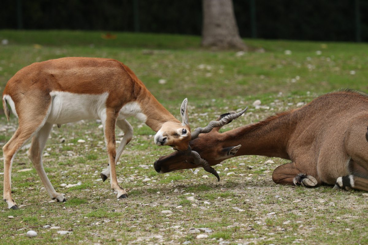 Hirschziegenantilope spielt mit Nilgauantilope im Tierpark Hellabrunn Negativbeispiel Perspektive