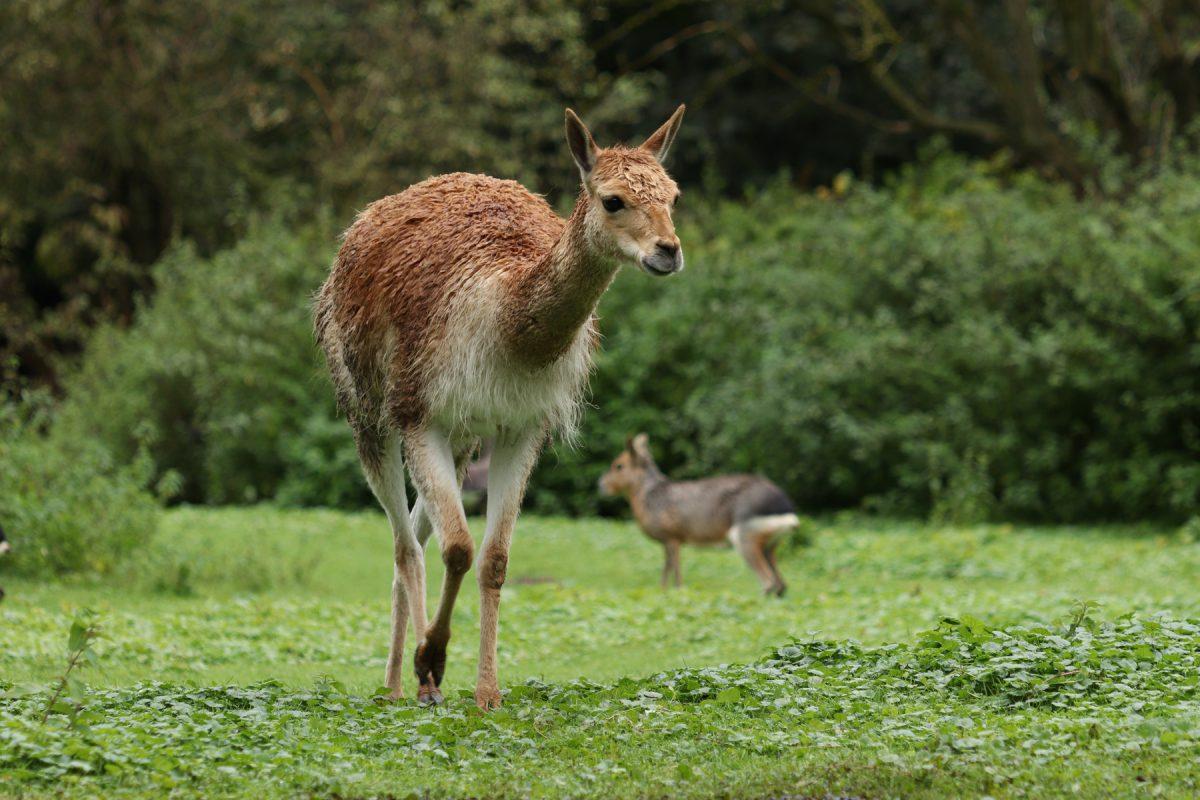 Vikunja im Tierpark Hellabrunn Beispiel Bildausschnitt