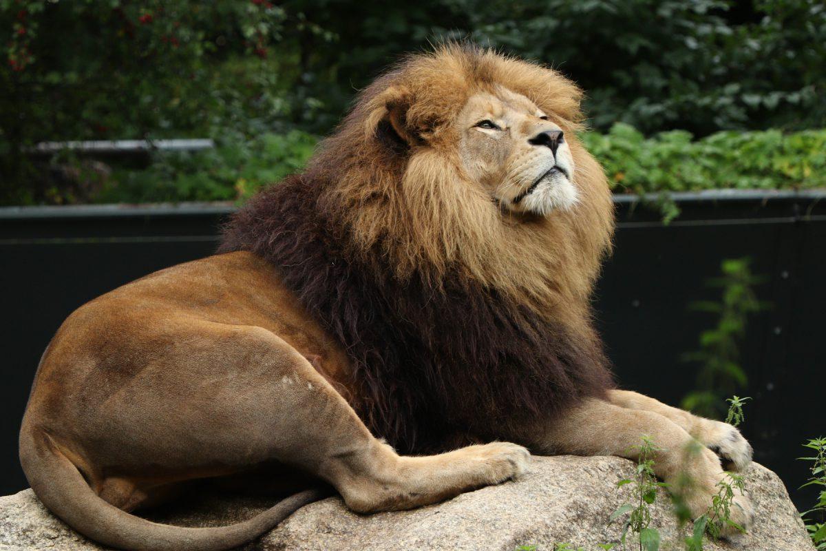 Afrikanischer Löwe Max im Tierpark Hellabrunn Negativbeispiel Hintergrund