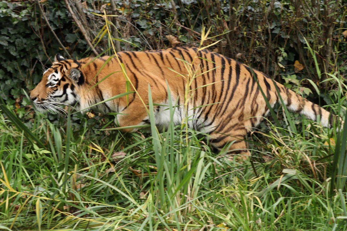 Sibirische Tigerin Ahimsa im Tierpark Hellabrunn Actionaufnahme