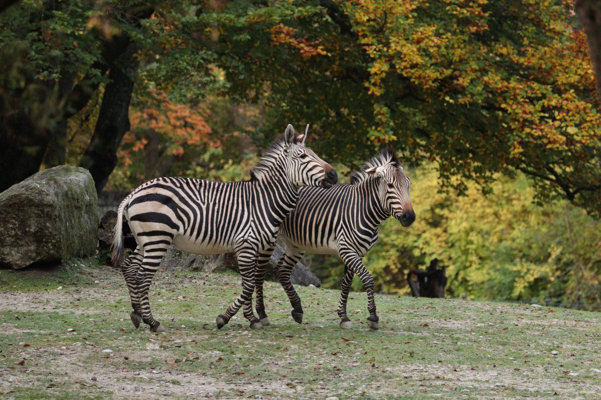 Hartmann-Bergzebras im Tierpark Hellabrunn