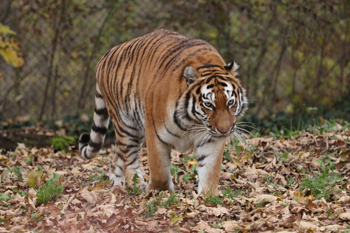 Sibirische Tigerin Ahimsa im Tierpark Hellabrunn Beispiel Freistellen