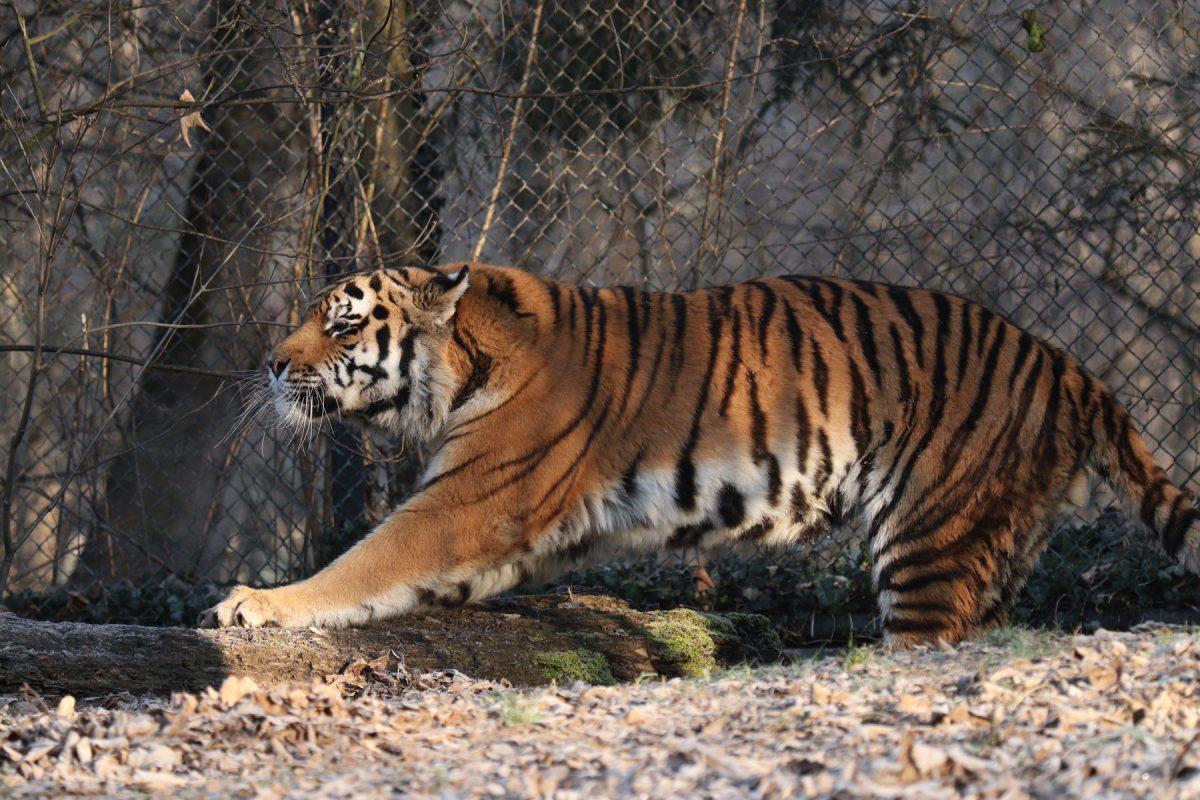 Sibirischer Tiger Jegor im Tierpark Hellabrunn Negativbeispiel Freistellen
