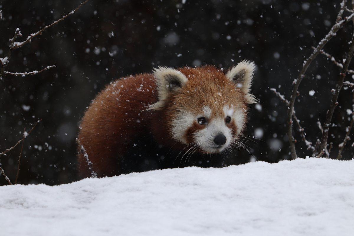 Negativbeispiel Rote Pandas Hellabrunn
