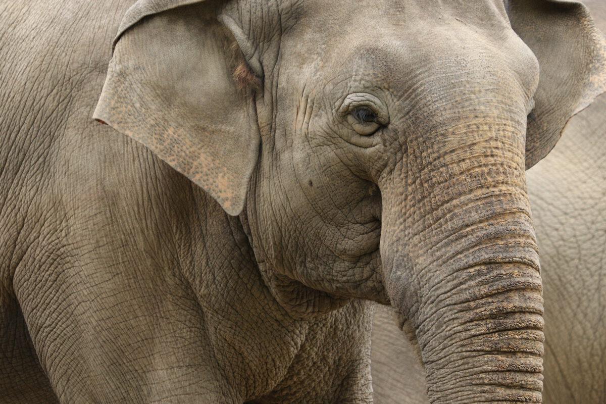 Asiatischer Elefant im Tierpark Hellabrunn