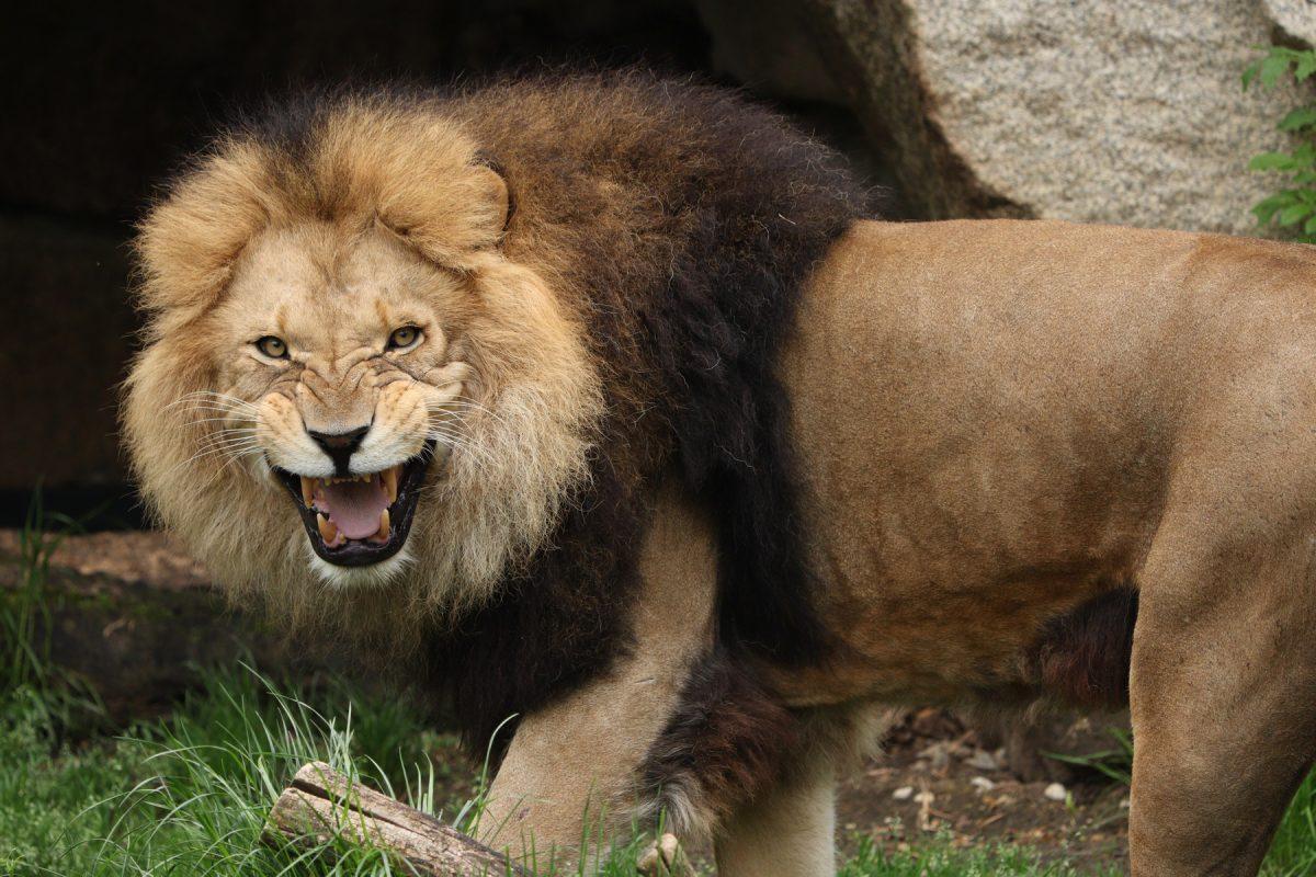 Afrikanischer Löwe Benny aus dem Tierpark Hellabrunn fauchend