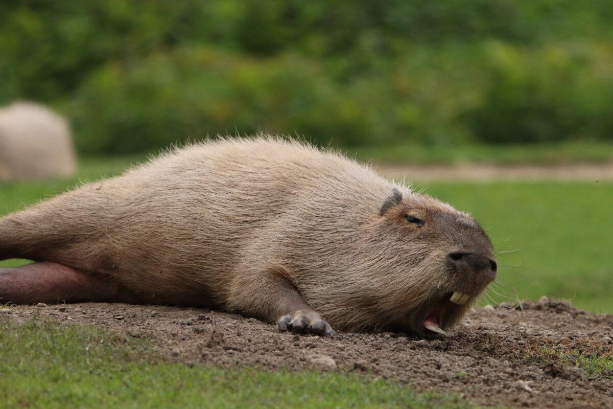 Gähnendes Wasserschwein im Tierpark Hellabrunn