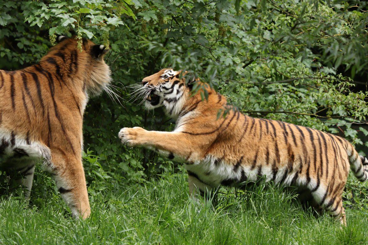 Sibirische Tiger Jegor und Ahimsa spielen im Tierpark Hellabrunn