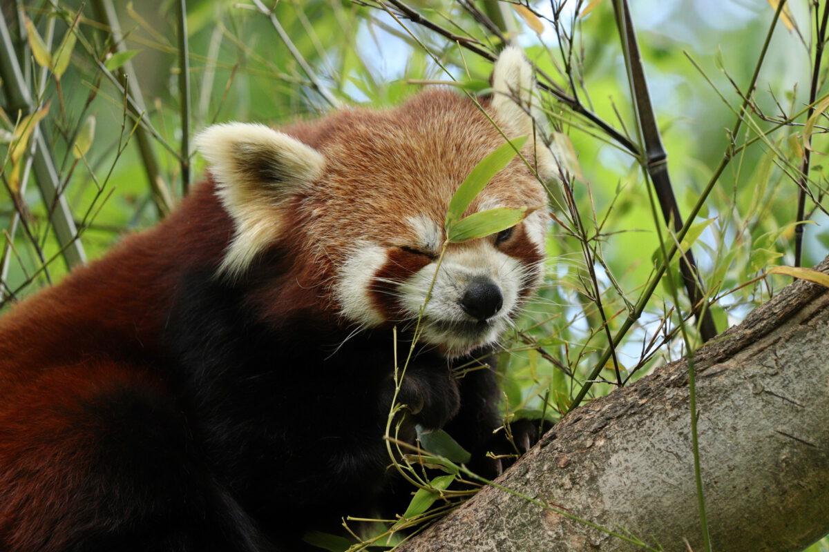 Rote Panda-Dame Miu im Tierpark Hellabrunn