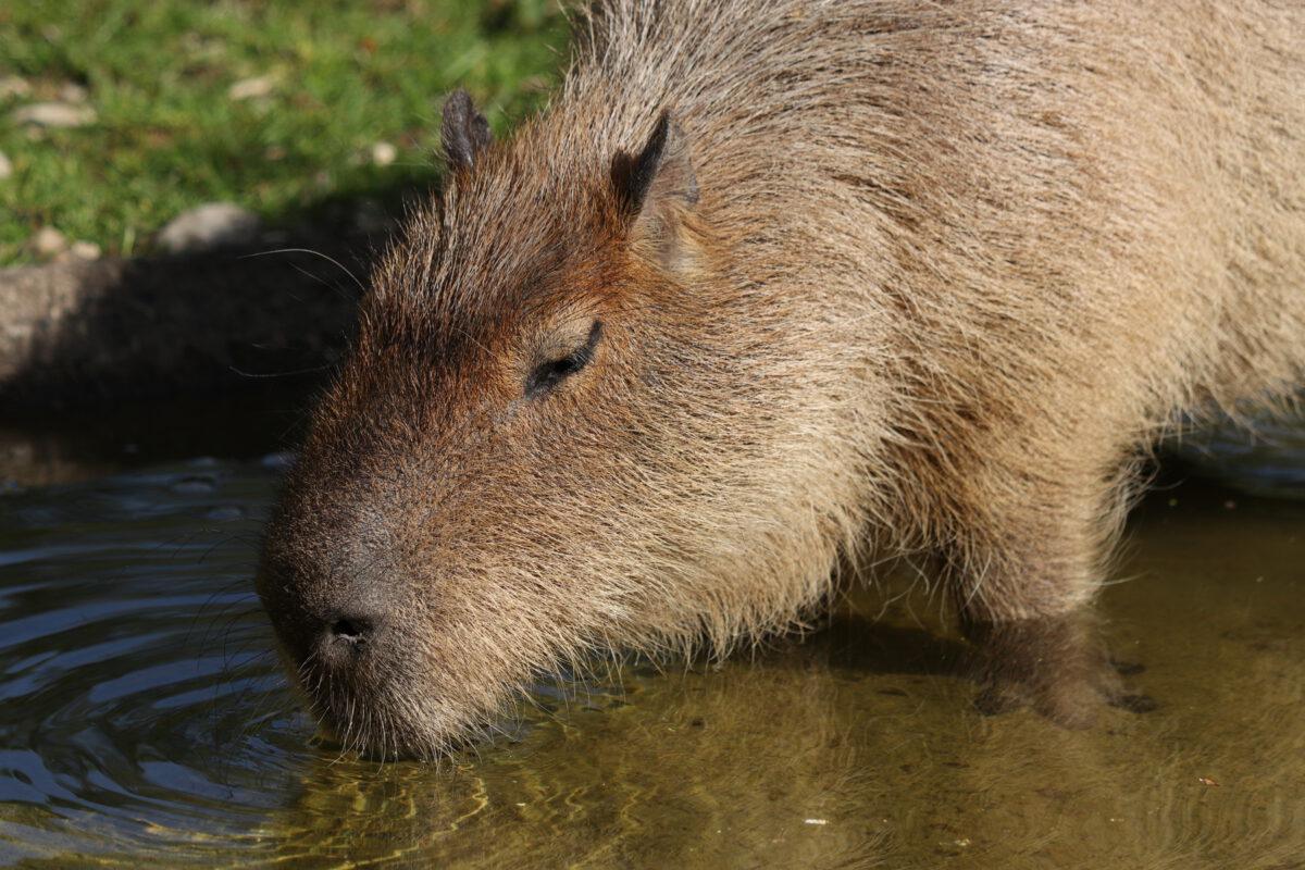 Wasserschwein trinkend im Tierpark Hellabrunn