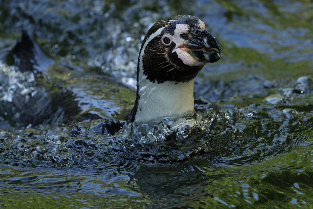 Humboldtpinguin im Tierpark Hellabrunn
