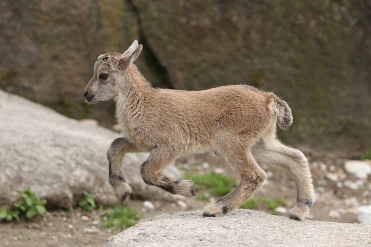 Steinbock Nachwuchs springend im Tierpark Hellabrunn