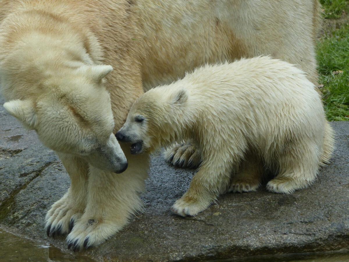 Eisbärin Giovanna mit Tochter Quintana im Tierpark Hellabrunn