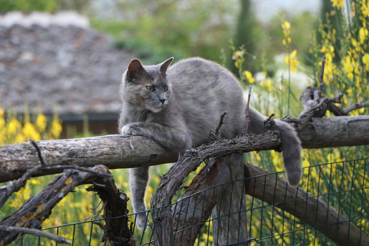 Toskana Katze liegt auf Zaun
