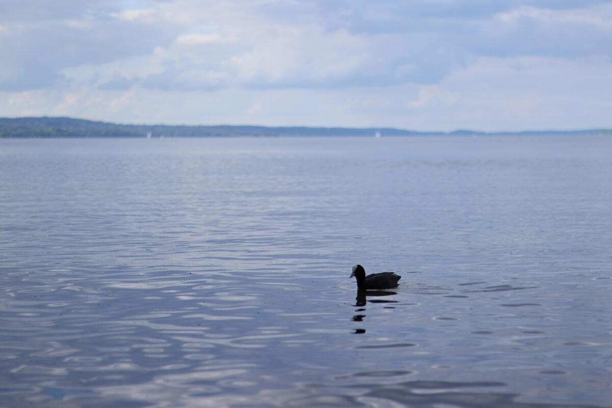 Blesshuhn auf dem Starnberger See