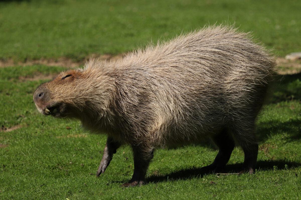 Wasserschwein im Tierpark Hellabrunn