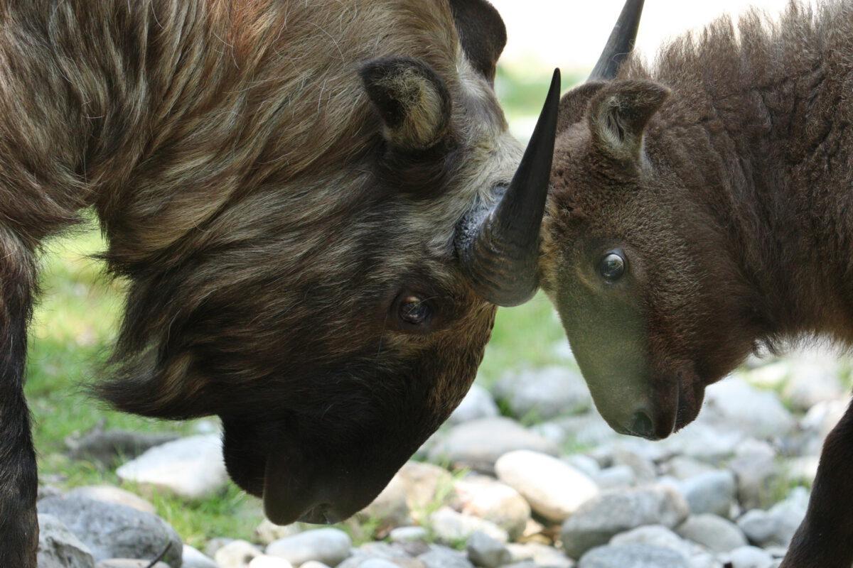 Mishmi-Takin mit Nachwuchs im Tierpark Hellabrunn