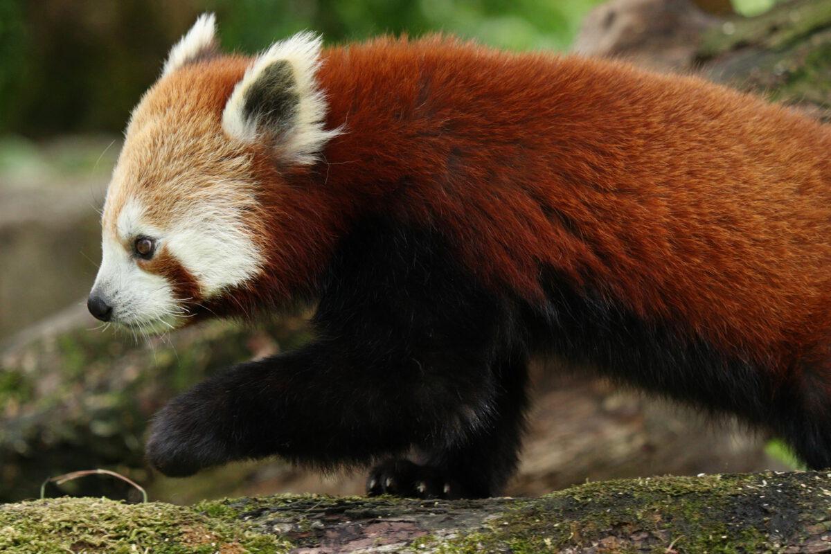 Roter Panda Tia im Tierpark Hellabrunn
