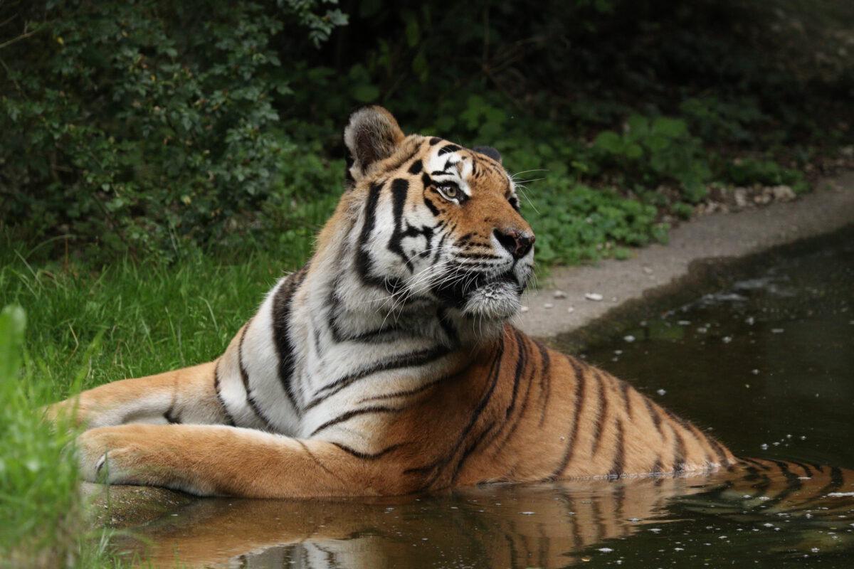 Sibirischer Tiger Jegor badend im Tierpark Hellabrunn