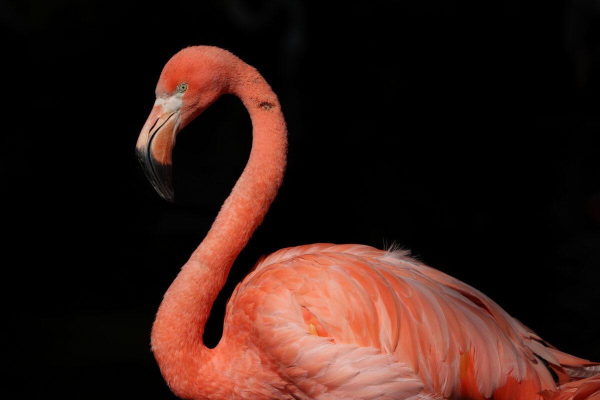 Roter Flamingo im Tierpark Hellabrunn