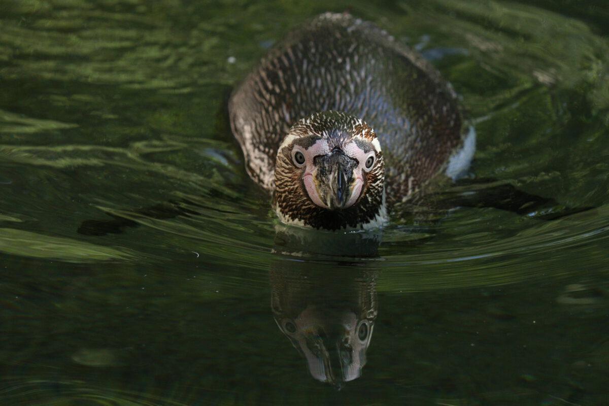 Schwimmender Humboldtpinguin im Tierpark Hellabrunn