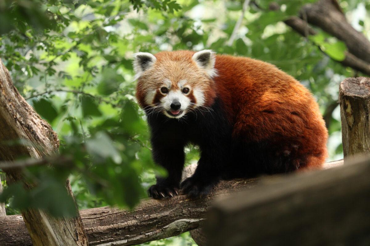 Roter Panda im Tiergarten Schönbrunn Wien