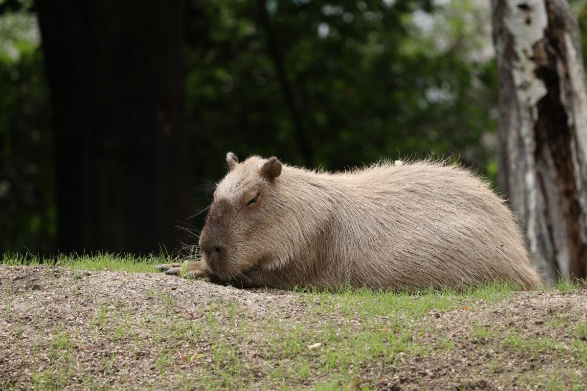 Wasserschwein im Tiergarten Schönbrunn Wien