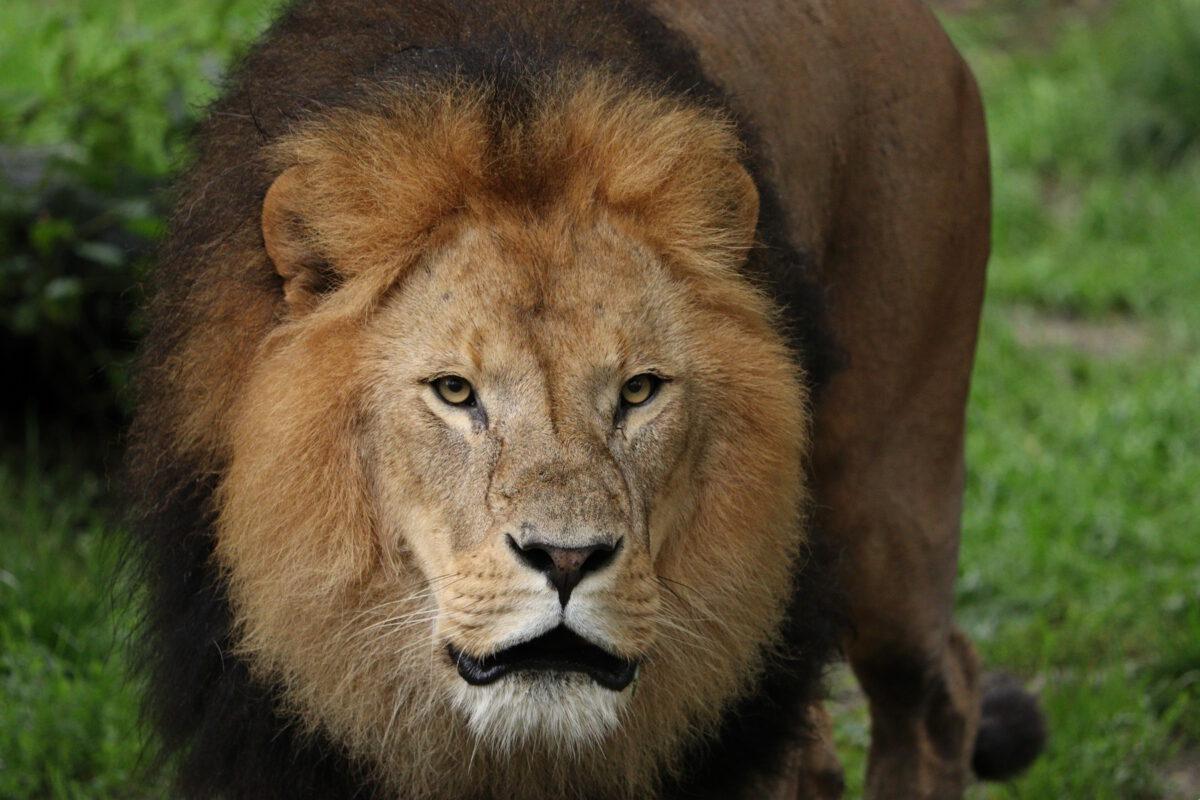 Löwe Benny im Tierpark Hellabrunn
