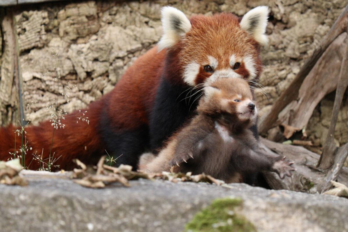 Roter Panda mit Baby im Tierpark Hellabrunn