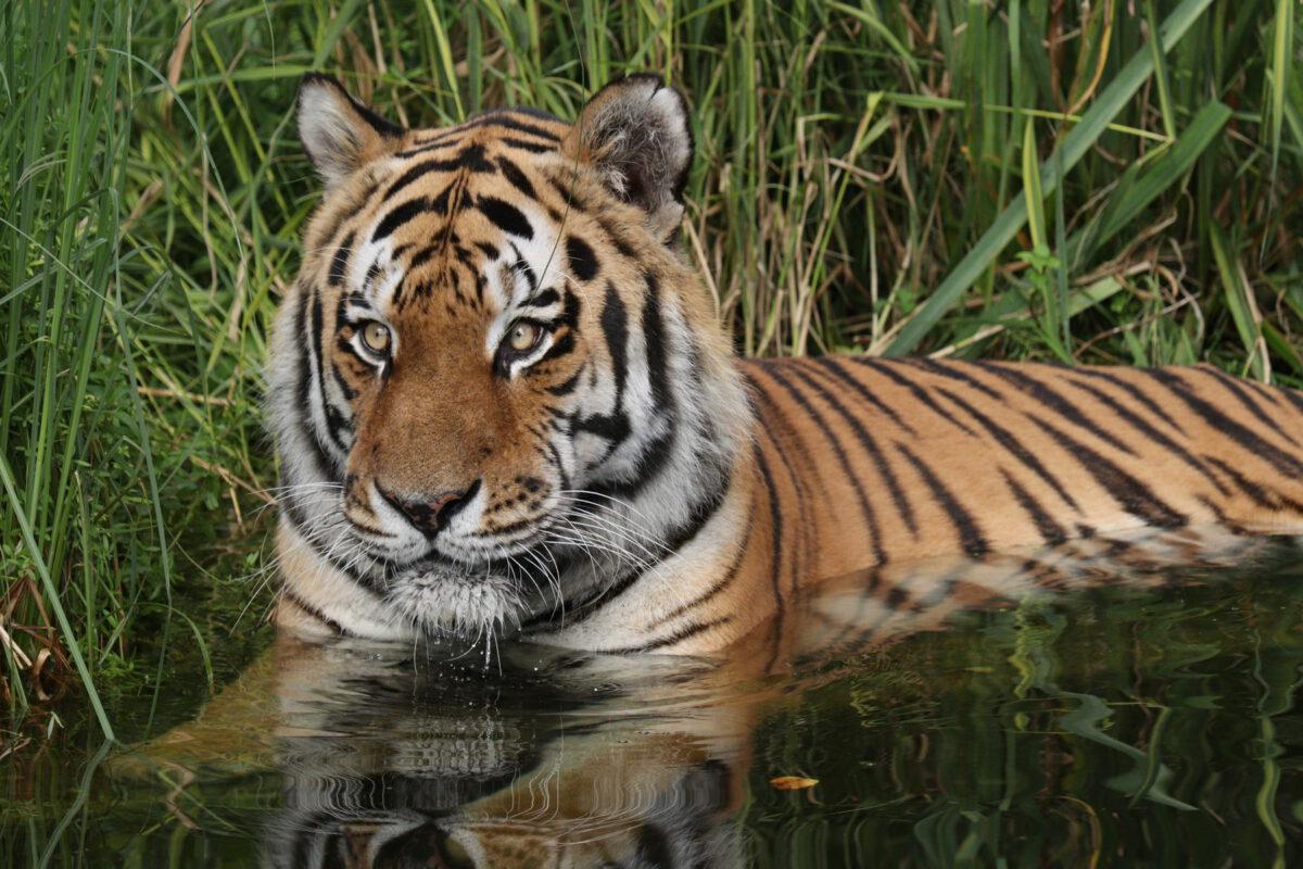 Sibirischer Tiger Jegor im Wasser im Tierpark Hellabrunn