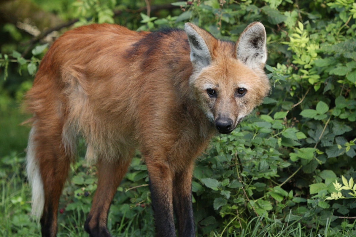 Mähnenwolf im Tierpark Hellabrunn