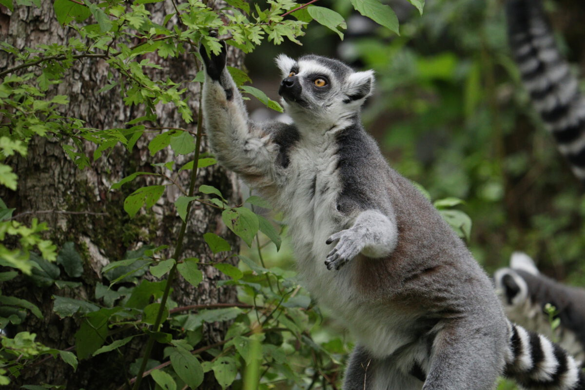 Katta im Tierpark Hellabrunn