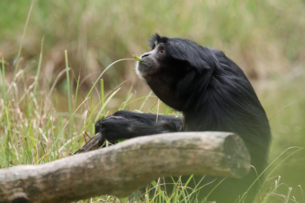 Siamang im Tierpark Hellabrunn