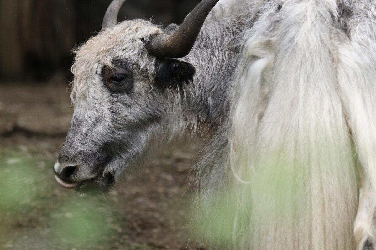 Hausyak im Tierpark Hellabrunn