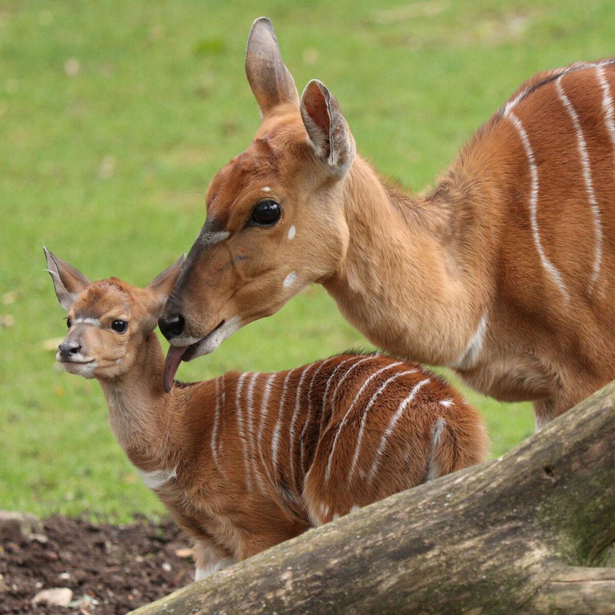 Tieflandnyala mit Nachwuchs im Tierpark Hellabrunn
