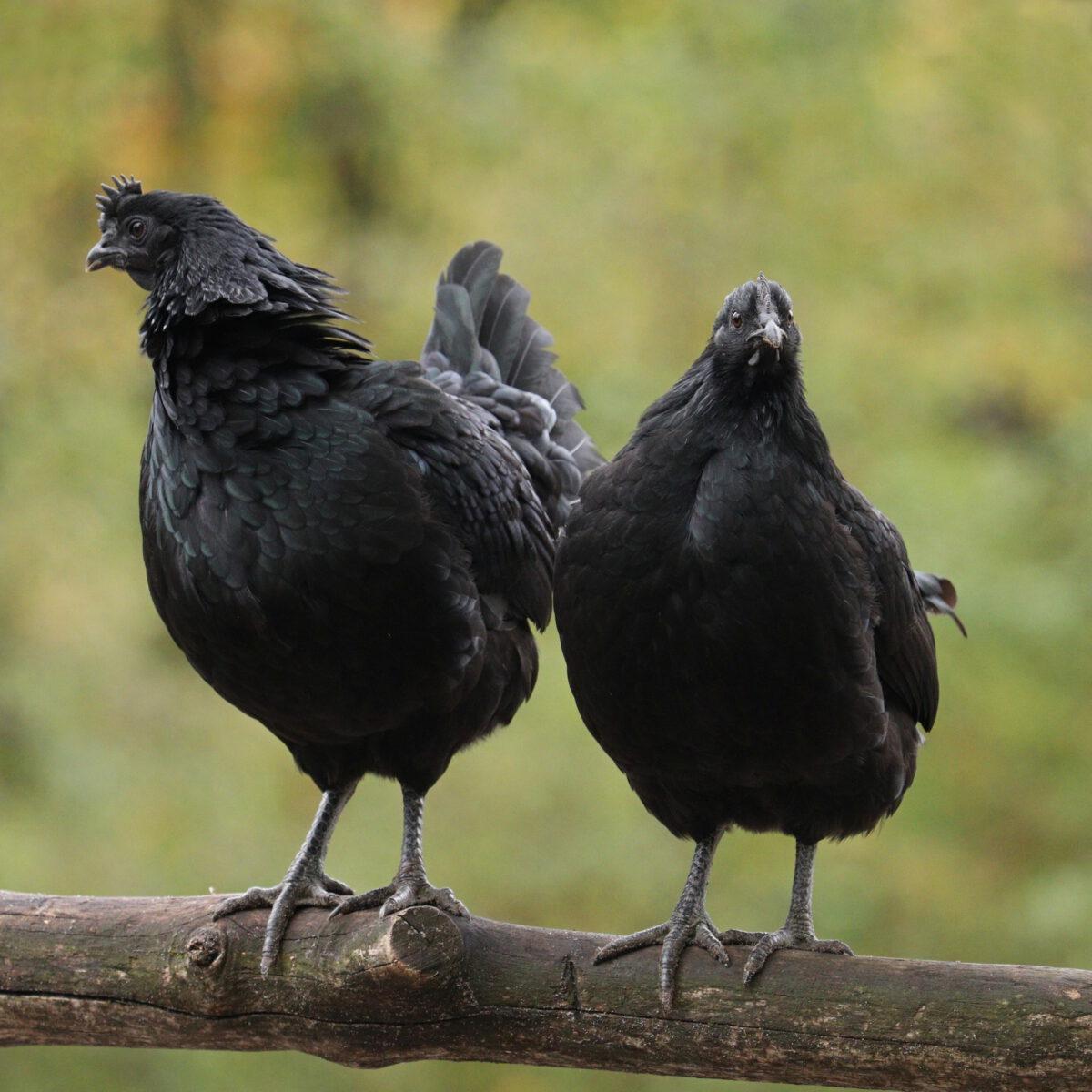 Ayam-Cemani-Hühner im Tierpark Hellabrunn