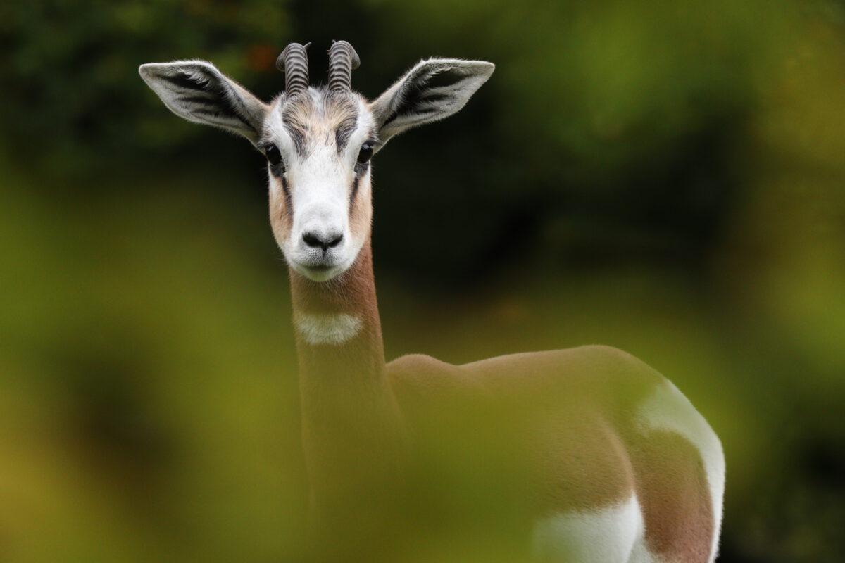 Mhorrgazelle im Tierpark Hellabrunn