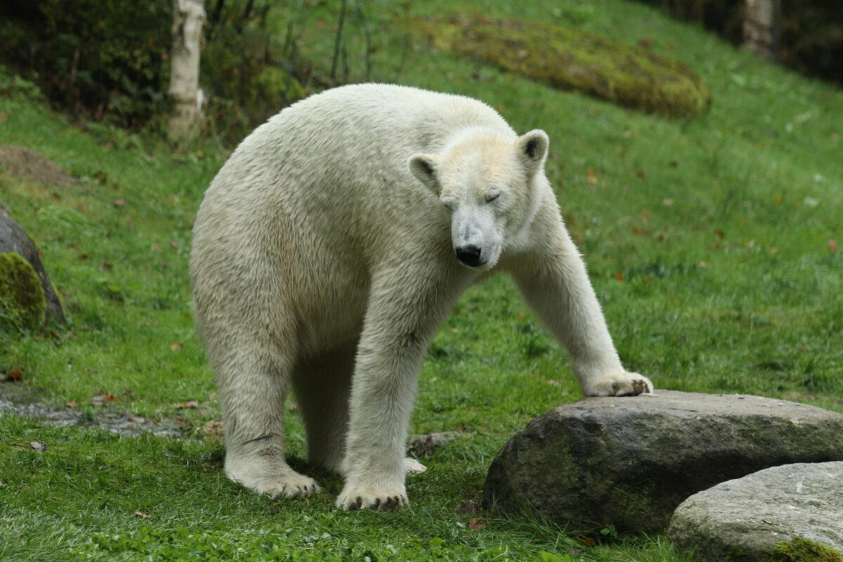 Eisbärin Nanook im Tierpark Hellabrunn