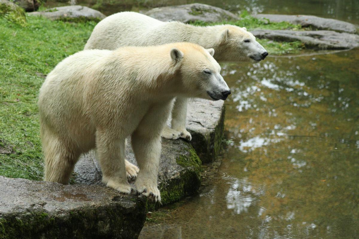 Eisbärinnen Nuna und Nanook im Tierpark Hellabrunn