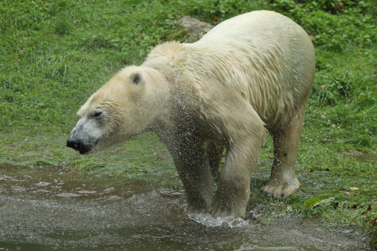 Eisbärin Nuna im Tierpark Hellabrunn