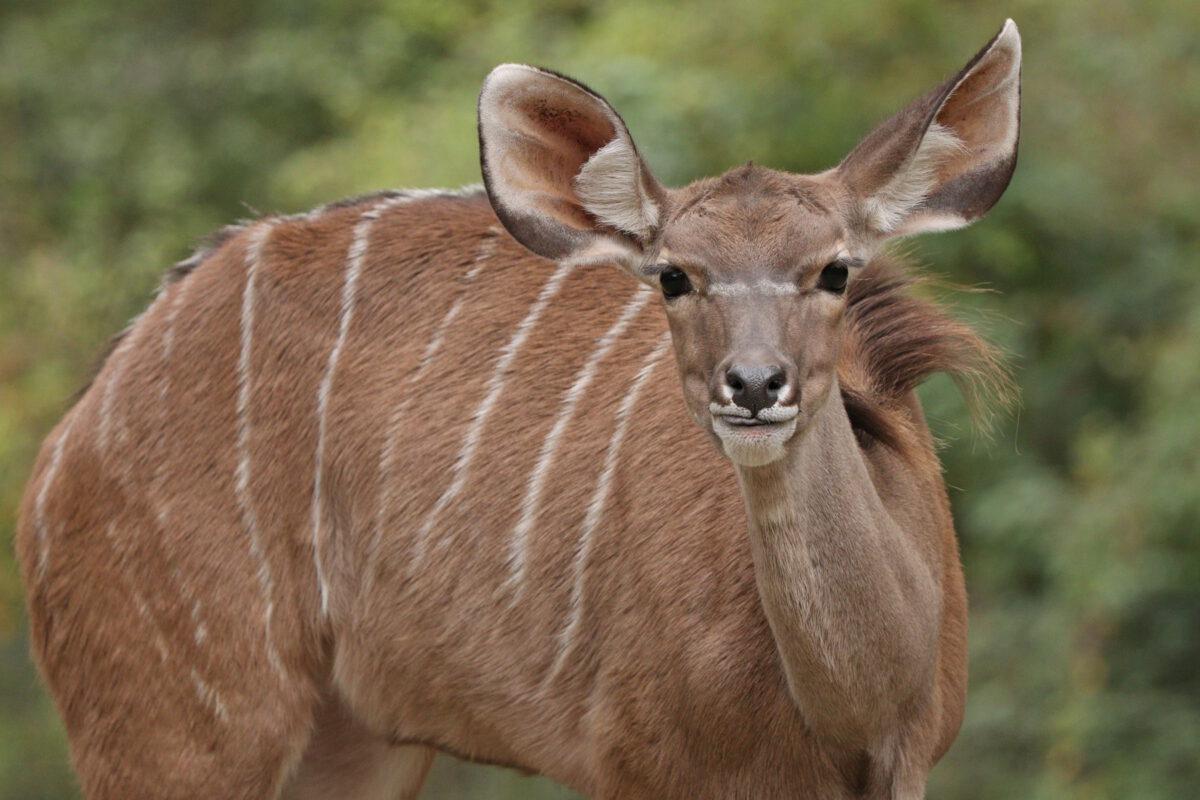 Großer Kudu im Tierpark Hellabrunn