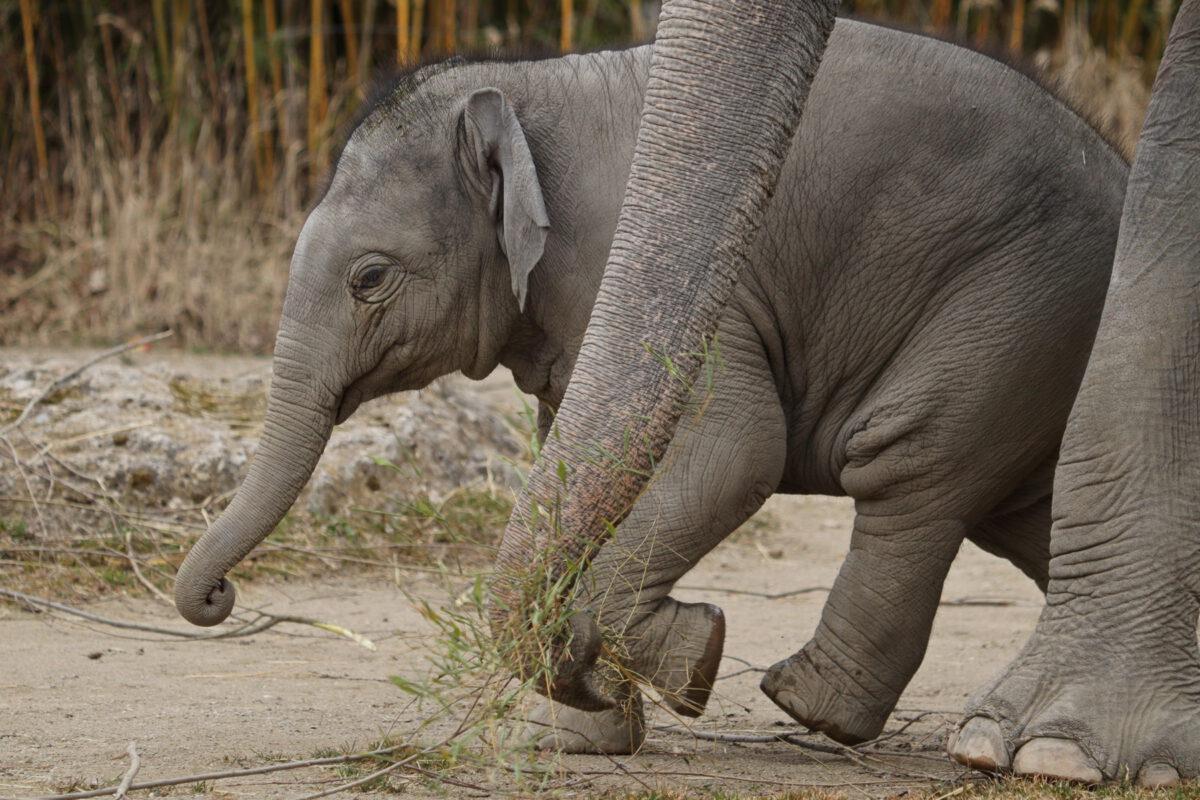 Asiatisches Elefantenbaby Otto im Tierpark Hellabrunn