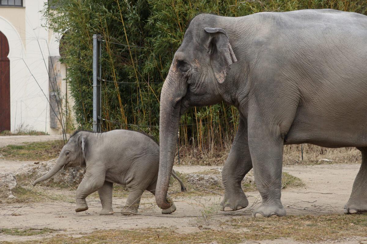 Asiatische Elefantenkuh Temi mit Jungtier Otto im Tierpark Hellabrunn